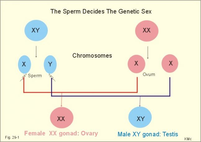 X and Y Chromosome sperms
