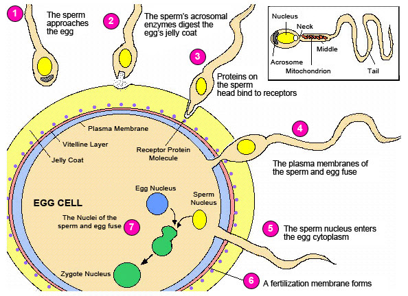 What Happens When Your Egg Is Fertilized By Sperm?