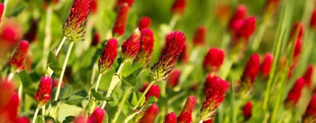 how does red clover help with fertility?