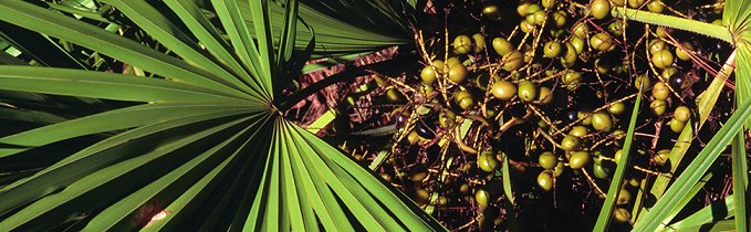 can saw palmetto help boost pregnancy chances?