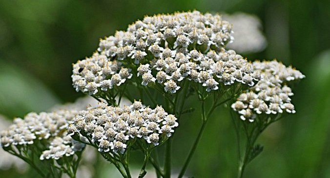 yarrow helps regulate blood flow in the pelvic area