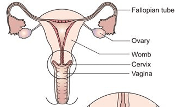how to tell if your pregnant by your cervix
