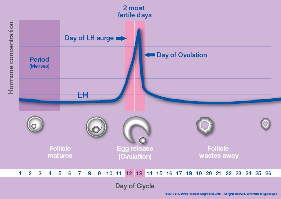 Woman's LH surge and fertile days