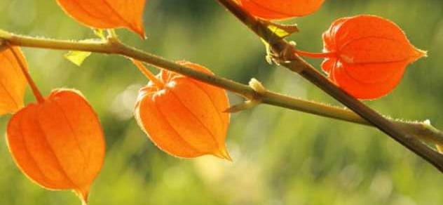 winter cherry to increase fertility