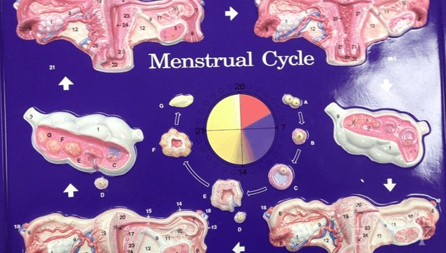 Can You Have a Period Without Ovulating?