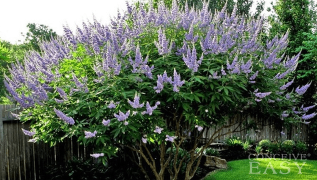 Vitex for Natural Fertility Treatment