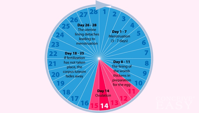 What is the Average Length of an Ovulation Cycle?
