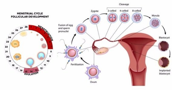 process from ovulation to fertilization