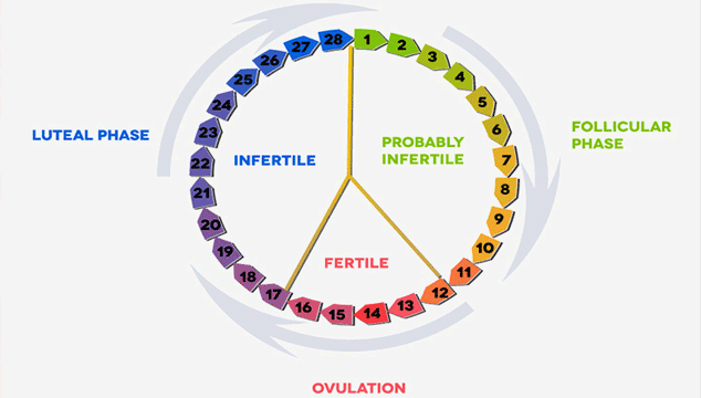 different phases in a woman's cycle