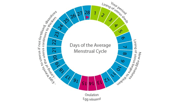 average menstrual cycle for women to track fertility
