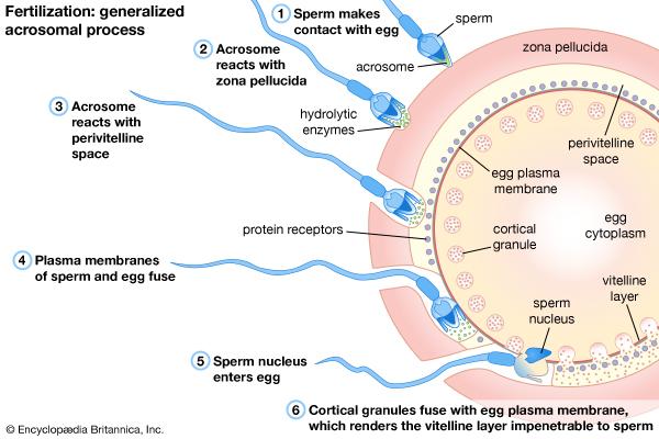 the process of fertilization