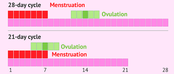 Is Ovulation Related to Menstruation?