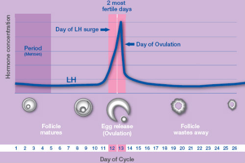 LH Surge during ovulation