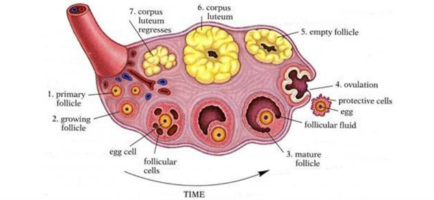 egg follicle in the ovary