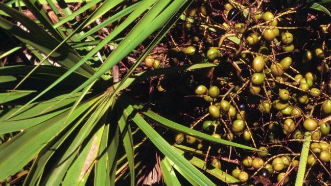 Saw Palmetto- herbs improve male fertility
