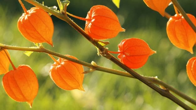 ashwagandha- herbs improve male fertility
