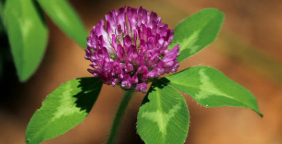 Red Clover - Chinese Herbs for Fertility