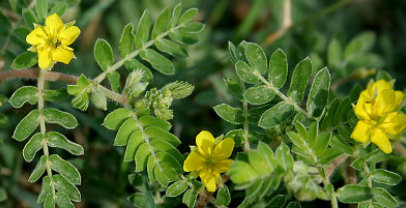 Tribulus terrestris - Chinese herbs for fertility