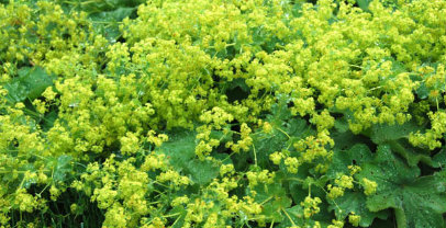 Lady's Mantle - Chinese Herbs for Fertility